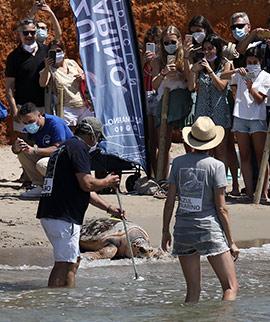 La Fundación Azul Marino y Oceanogràfic sueltan una tortuga de 100 kilos en Oropesa del Mar